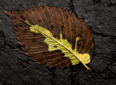 Elm Leaf photo by Jay Snively