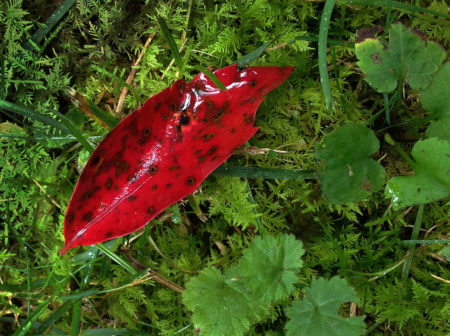 Glossy Cherry Leaf photo by Jay Snively