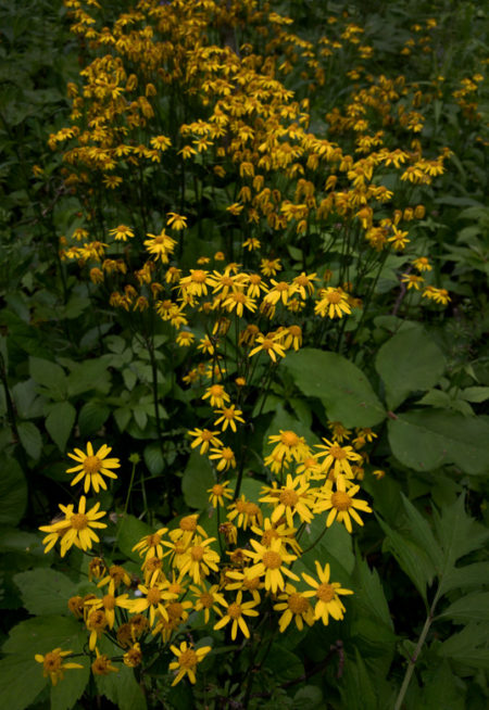 Golden Ragwort photo by Jay Snively
