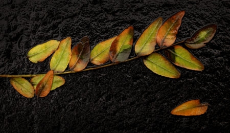 Honey Locust Leaves photo by Jay Snively