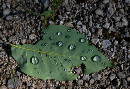 Leaf Dew photo by Jay Snively
