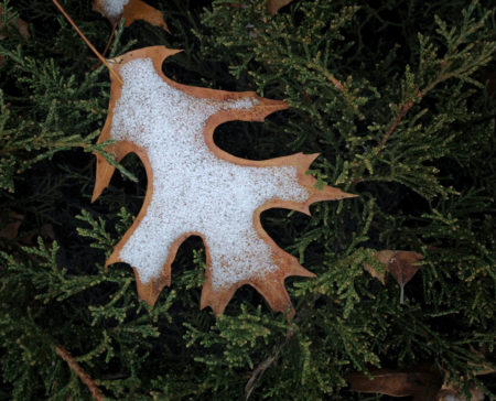 Oak Leaf Snow photo by Jay Snively
