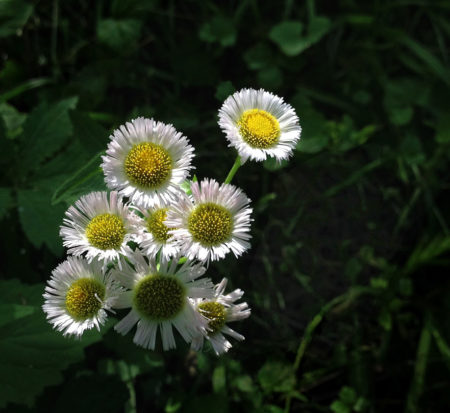 Philadelphia Fleabane photo by Jay Snively