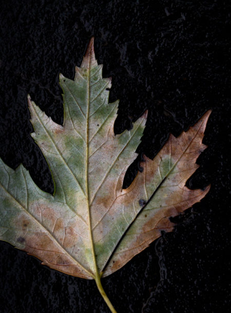 Silver Maple Leaf photo by Jay Snively