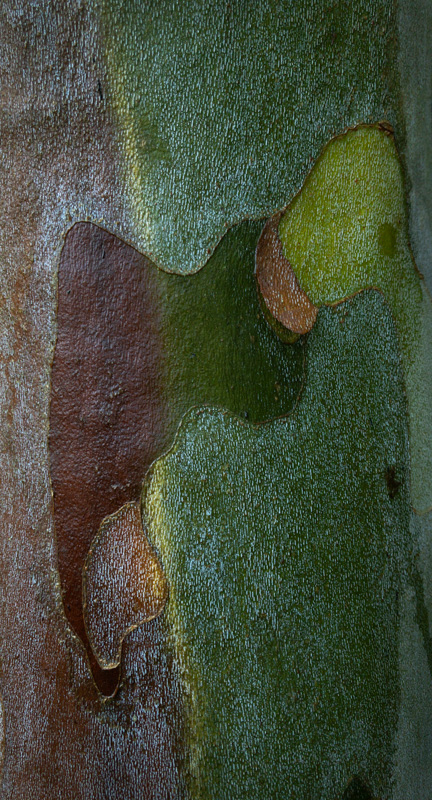 Sycamore Bark photo by Jay Snively
