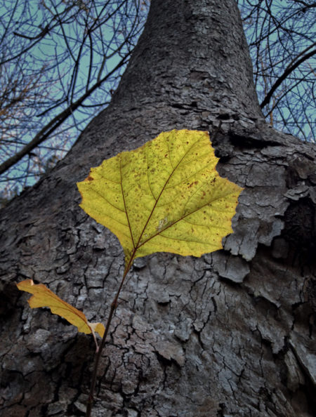 Sycamore Leaf photo by Jay Snively