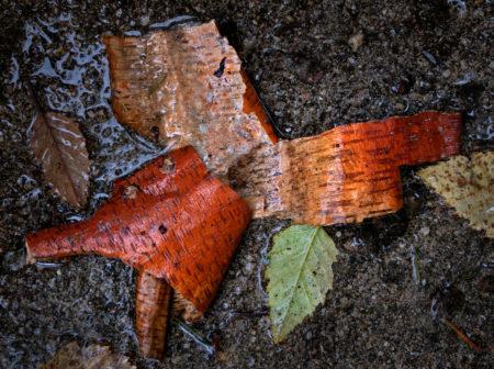 Birch Bark photo by Jay Snively