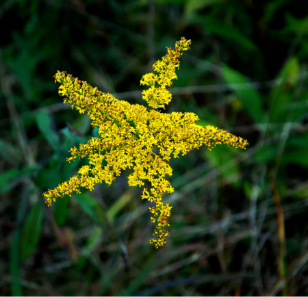 Goldenrod Star photo by Jay Snively