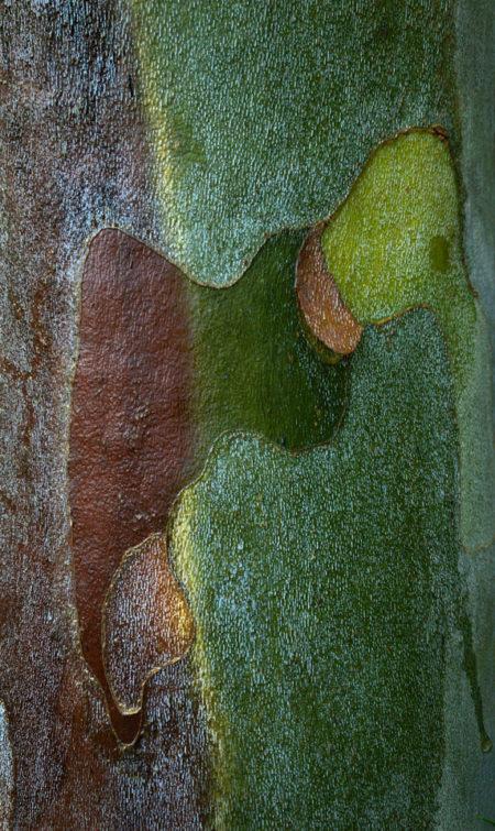 Sycamore bark photo Jay Snively