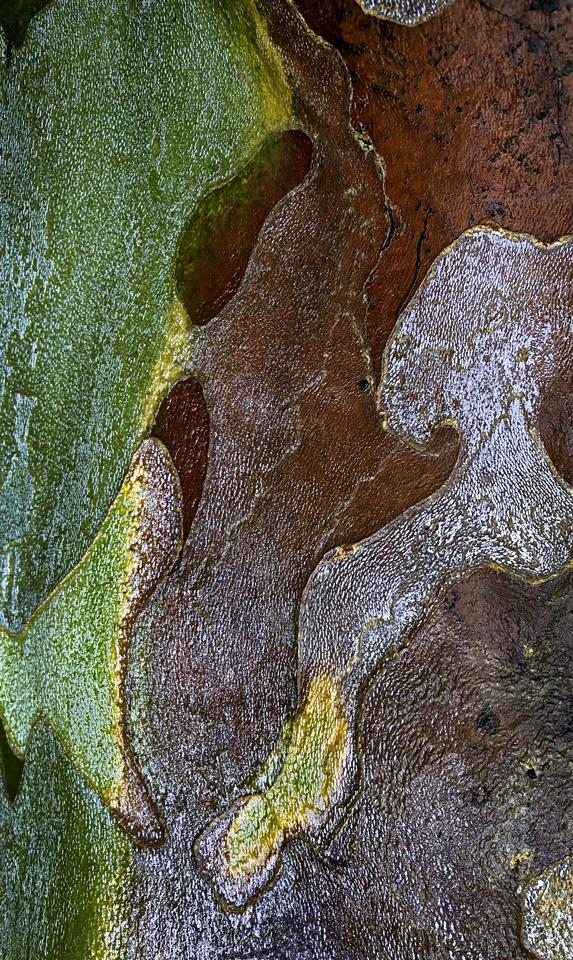 Sycamore bark photo by Jay Snively