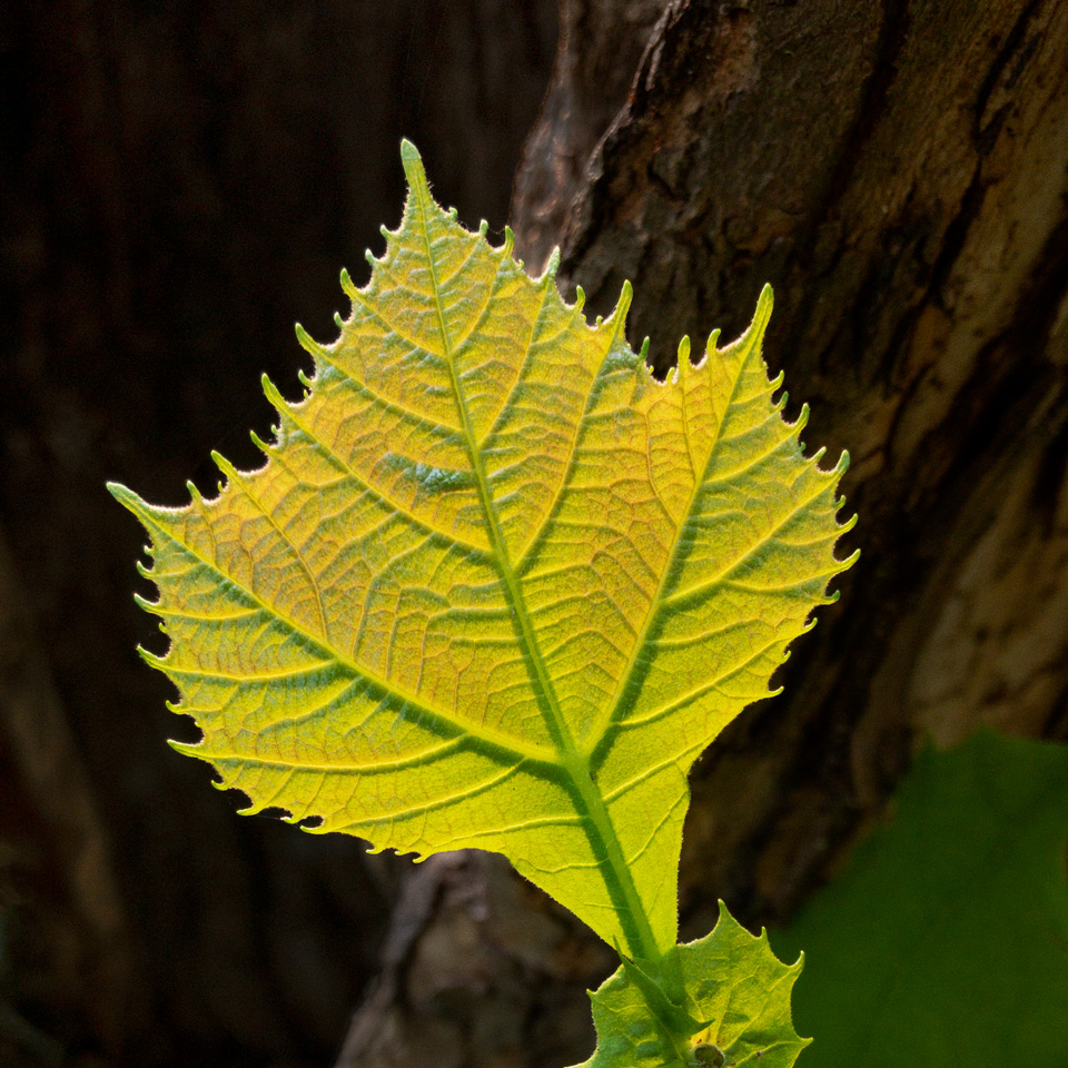 New Sycamore Leaf photo by Jay Snively